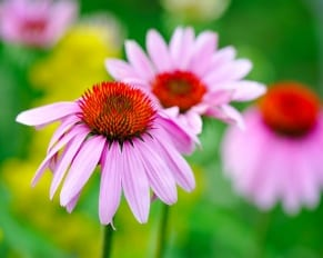 What Exactly Is Echinacea and Why Is It Good For You?